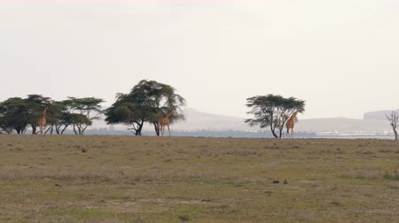 savana : Giraffes Walking On The African Plain In The Savannah To The Acacia Trees Stock Footage