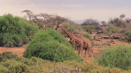 zsiráf : Giraffes Eat Green Leaves From The Bush In The African Savannah Stock mozgókép