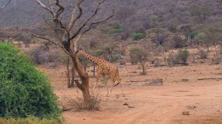 samburu : Young African Giraffe Walking On The Red Ground Of The Road In Reserve Samburu