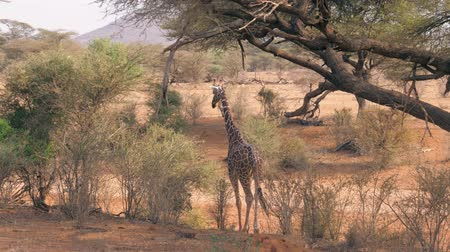 samburu : Young African Giraffe Is Approach To The Bush With Green Foliage And Eats It Stock Footage
