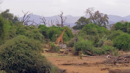 přežvýkavec : Giraffe And Zebra Graze Green Foliage In The Bushes Of The African Savannah