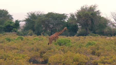 samburu : Giraffe Goes Through The Bushes Of The African Savannah To A Large Bush To Graze Stock Footage