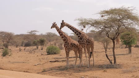 giraffa : African Giraffes Show Tenderness And Love For Each Other Rub Their Necks