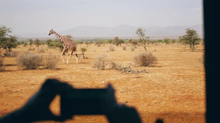 akát : Hands Holding Phone And Take Photo Wild Giraffe Walking On The African Savannah
