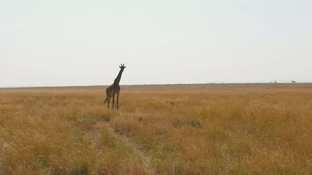 býložravý : Giraffe Standing In The African Savannah With Tall Dried Grass In The Dry Season