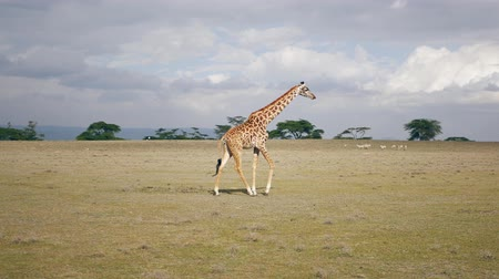 akát : African Giraffe Walking In The Savanna Where Many Animals Graze In The Distance