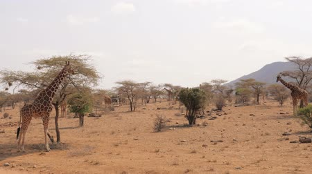 savana : Many Giraffes In The Samburu Reserve Hide Near Trees And Bushes In Dry Season