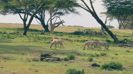 akát : Group Of African Zebras Grazing On A Green Meadow Among Acacia Trees Dostupné videozáznamy