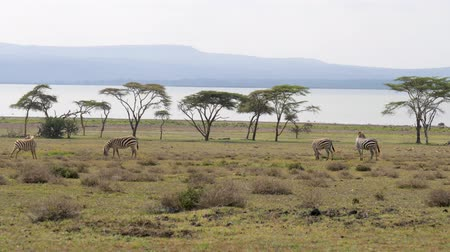 driftwood : African Zebras Graze On A Green Meadow Near The Acacia Trees And The Lake