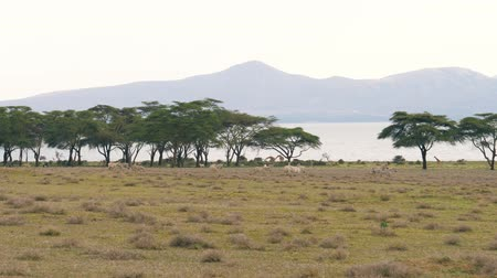 driftwood : Herd Of African Zebras Graze On A Green Meadow Near The Acacia Trees And Lake
