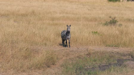 kurutulmuş : Portrait Of African Zebra In The Savannah Looking At Camera Then Turns His Head Stok Video