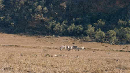 savana : Wild African Zebras Graze In The Meadow During The Dry Season In The Reserve Stock Footage