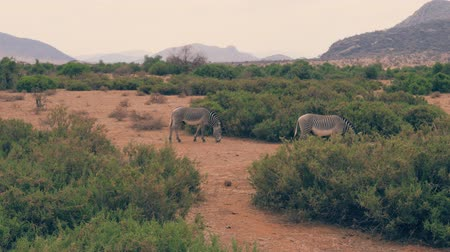 samburu : African Zebras Graze On The Plain Among The Bushes In The Dry Season