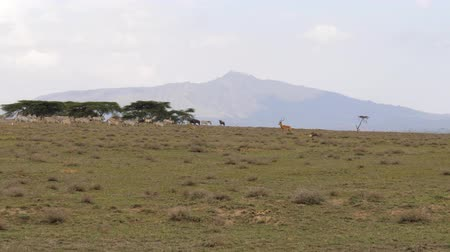 アンテロープ : Herd of African Zebras Run In The Valley On The Background Of The Mountain