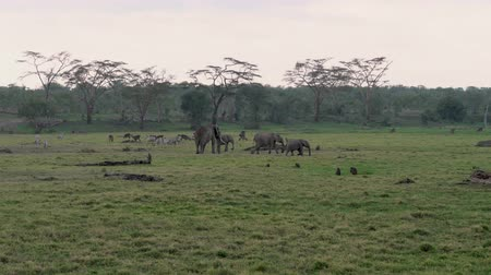 アンテロープ : Herd Of African Elephants Antelopes Monkeys Zebras Graze On A Green Meadow 動画素材