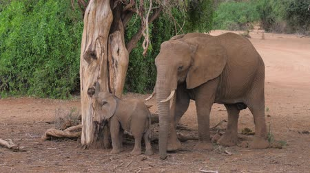 young elephants : African Elephant With Baby At The Dried Tree Eat Bark And Leaves