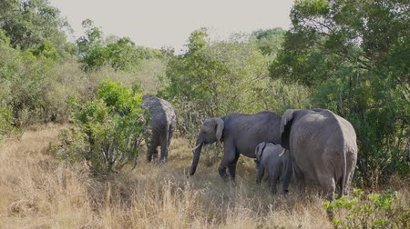 marfim : Family Of African Wild Elephants With Babies In The Bushes