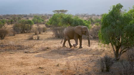 tusk : African Wild Elephant Walks Through The Desert With Red Earth Among The Bushes Stock Footage