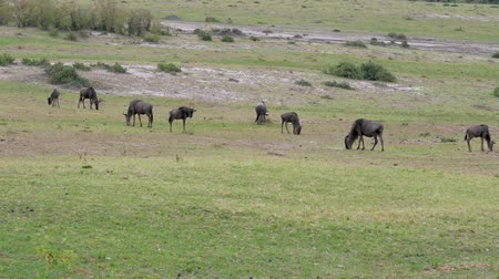 câmara : A Herd Of Wildebeest Grazing On A Green Meadow In The African Savannah Stock Footage