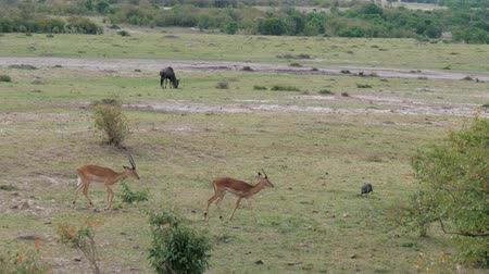 boynuzları : Antelopes Thomson Go One After Another In The Bushes In The African Savannah