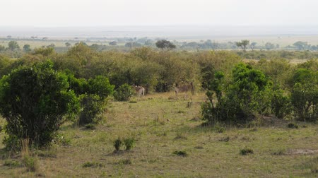 boynuzları : Antelope Standing Still Among The Bushes In The African Savannah