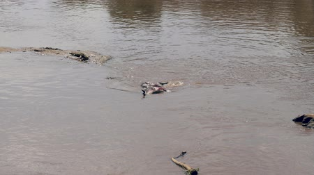 jacaré : Dead Wildebeest In The Mara River Crocodile Eats