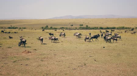 Танзания : African Savannah Plain Where Thousands Of Wildebeest Graze On Yellow Dry Grass
