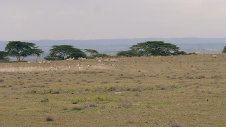 savana : Herd Of Springbok Antelopes Quickly Run From A Predator On The African Savannah