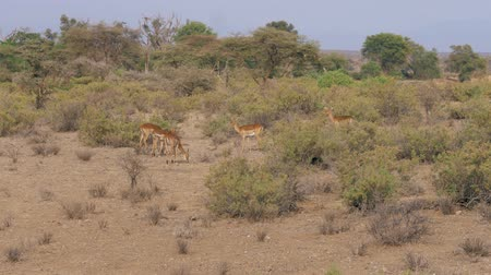 mating season : Male Antelope With Its Females Grazing In The Bushes Of The African Savannah