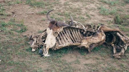 fome : Close-Up Of The Skeleton Of An African Wildebeest With A Skull On The Ground