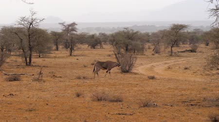 samburu : Oryx Antelope Grazing With Dry Grass In The Dried Season In The African Reserve