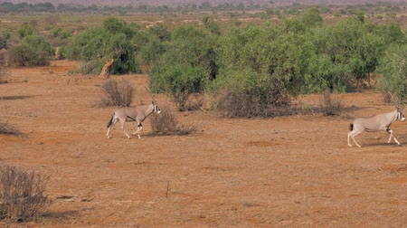 ungulado : Oryx Antelope Walks Through The Savannah And Then Starts Running From Danger Vídeos