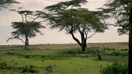 оленьи рога : Antelope Grazing On A Green Meadow Or The African Savannah To The Acacia Trees Стоковые видеозаписи