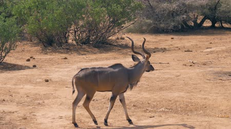 horned : Antelope Kudu Goes On A Desert Dusty Ground Near The Bushes In Africa Savannah