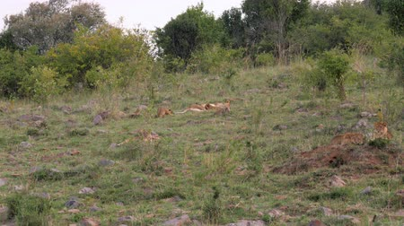 gato selvagem : African Lioness With Cubs Resting On The Grass Near The Bushes In The Savannah Stock Footage