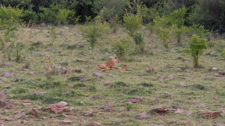 câmara : African Lioness With Cubs Resting On The Grass Near The Bushes In The Savannah Stock Footage