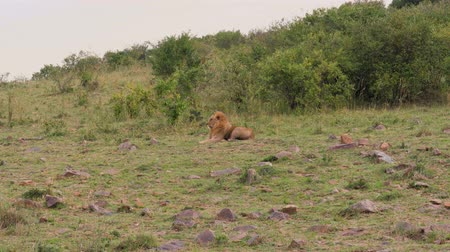 kenia : African Lion Lying And Resting In The Bushes In The African Savannah