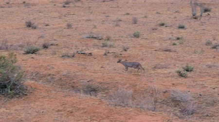 dravec : Wild African Cat Caracal Runs Through The Desert With Red Ground In Samburu