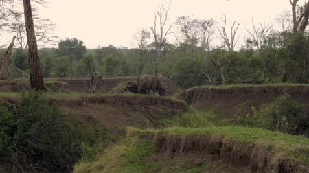 buvol : Buffalo Graze At The Ravine Among The Thickets In The Rain In African Savannah
