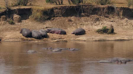 hipopotam : Hippos Sleeping On The Banks And In The Water Of The Mara River In Africa