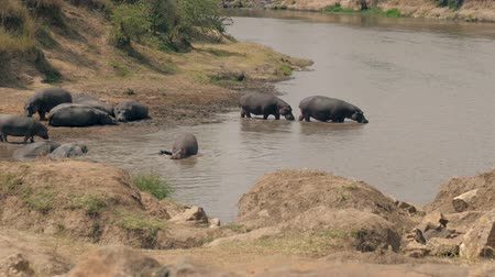 omnivore : African Wild Hippos Walk Into The River To Cool Off On A Hot Day
