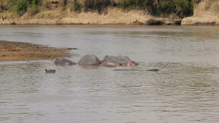 national park : Hippos Cool Off And Resting In The Brown Water Of The Mara River In Africa