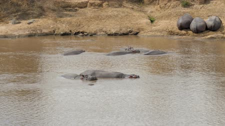 omnivore : Hippos Sleeping On The Banks And In The Water Of The Mara River In Africa