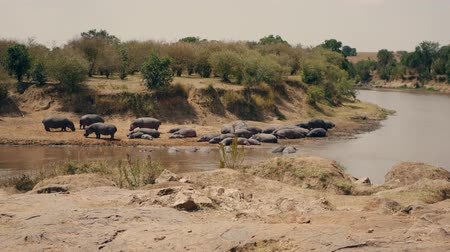 býložravý : Herd Hippos Resting On The Banks And In The Water Of The Mara River In Africa