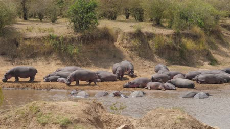 hippo : Herd Of Hippos Rest And Stand On The Banks Of The River Cooled In The Water
