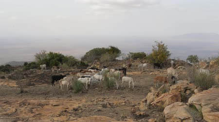 fome : Herd Of Cows Grazing Grass In The African Desert On The Mountain Among The Rocks