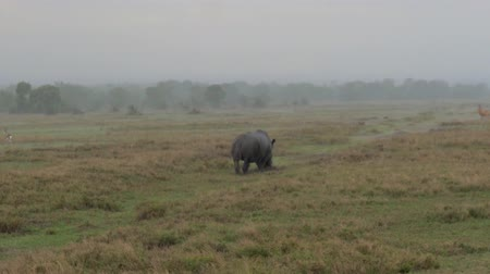 horned : Rhino Walking And Grazing In A Meadow In The African Savannah In Heavy Rain