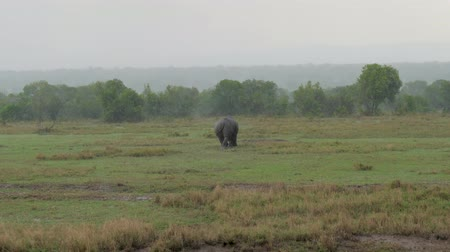 white rhino : Adult African Rhino Goes Into The Bushes From The Field Because Of Heavy Rain Stock Footage