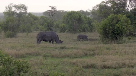 white rhino : Female Rhinoceros With A Baby Graze In The Meadow And Run Away From Heavy Rain Stock Footage