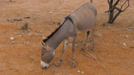 szamár : Donkey Close Up Of Eating Dry Grass On The Red Sandy Land In The Desert